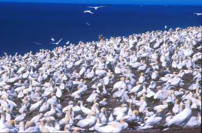 Quebec, Perce, isla Bonaventure, pájaros Locos del Basan, animal