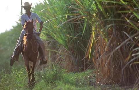 Cuba, Holguín, Plantación de cañas de azúcar