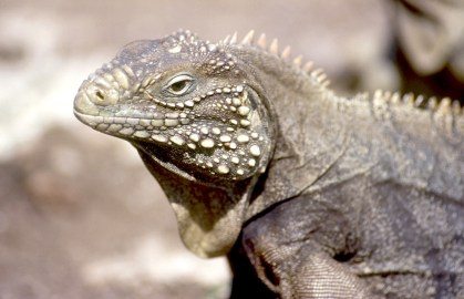 Cuba, Cayo Iguana, Iguana, animal