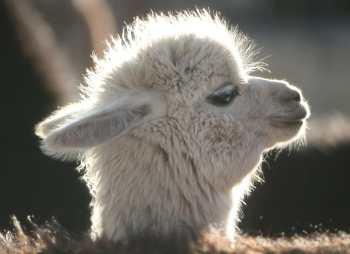 Bolivia, Llama de los andes, animal