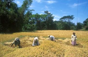 Sri Lanka, Nergalla, campos de arroz, cosecha, trabajo