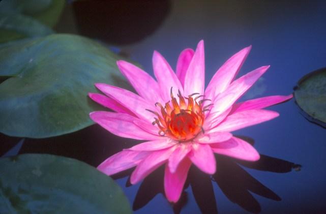 Sri Lanka, Mihntale, Roca del Templo, flor de loto