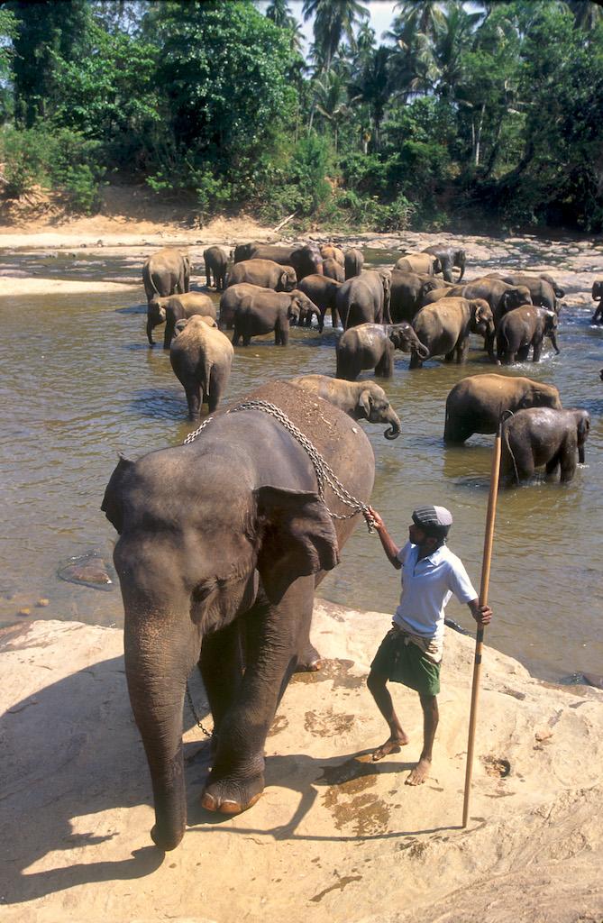 Sri Lanka, Pinnawela, Orfanato de Elefantes, animal, animal