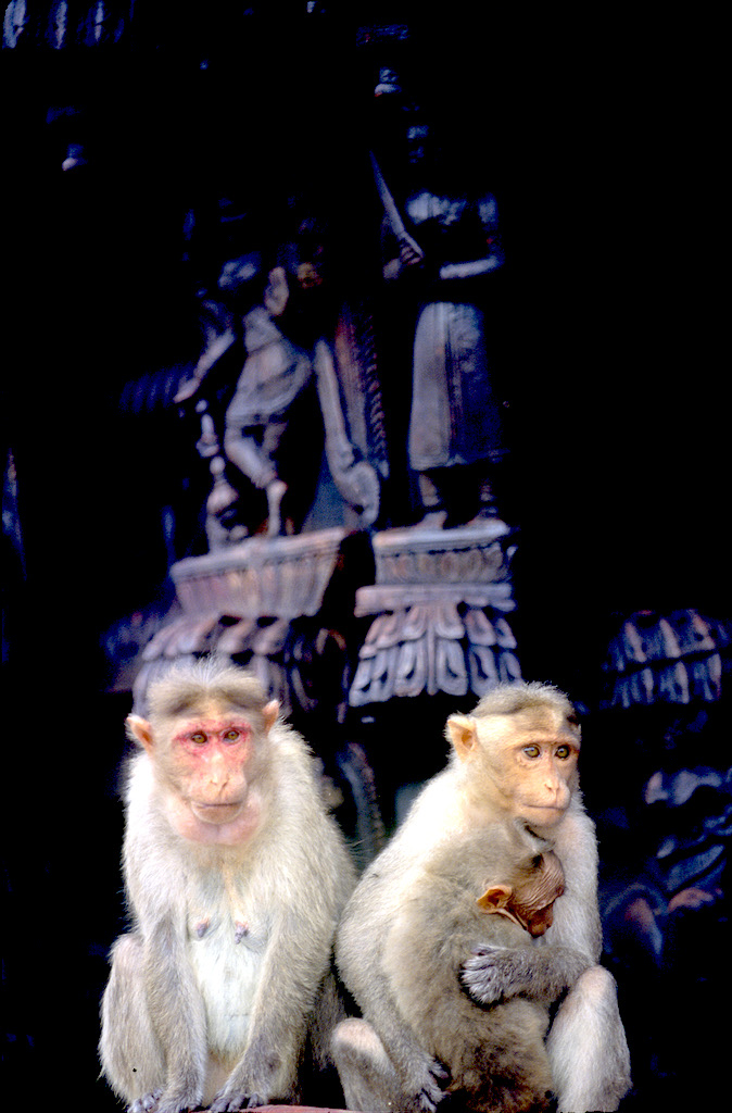 India, Mysore, Fiesta de Dussehra, Karnataka, Templo del monos