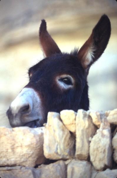 Túnez, Ichenini, burro, animal
