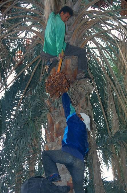 Túnez, Tozeur, cosecha de Dátiles, trabajo