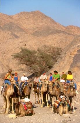 Israel, desierto del Negev, Excursión en Dromedarios, animal