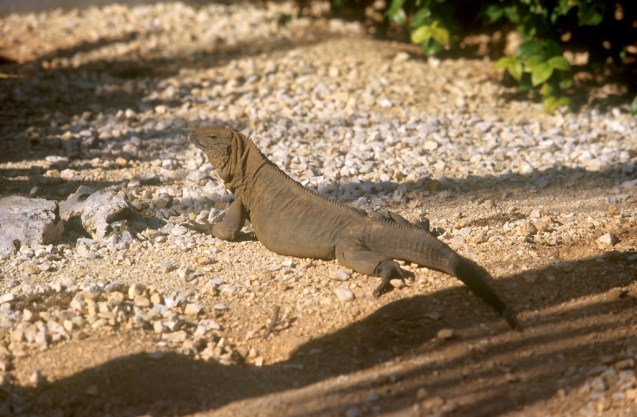 Islas Cayman, West Bay, Iguana, animal
