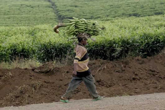 Camerún, Buea, plantación de Té, porteador de plátanos