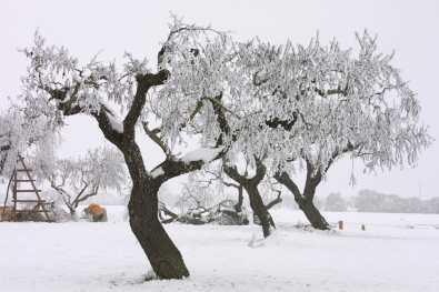 Catalunya, Pla D'Urgel, Mollerusa, árbol