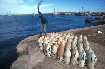 Túnez, Industria, Pescador, Pulpo., animal, retrato