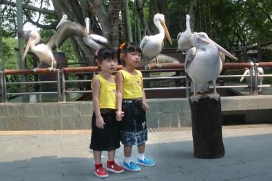 Singapur, Parque de Aves de Jurong, fotos con los pelicanos