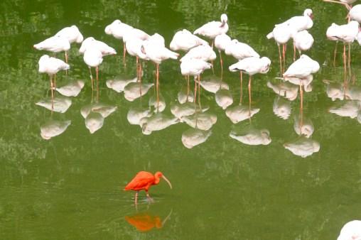 Singapur, Parque de Aves de Jurong, Flamencos, annimal