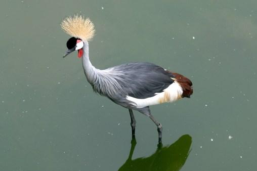 Singapur, Parque de Aves de Jurong, Gaza Coronada