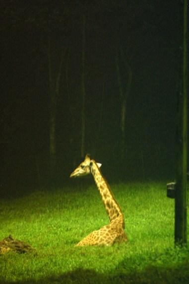 Singapur, Zoológico, Safari de Noche, Jirafa