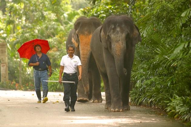 Singapur, Zoológico, elefantes asiáticos, animal
