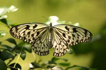 Singapur, Zoológico, mariposa, animal