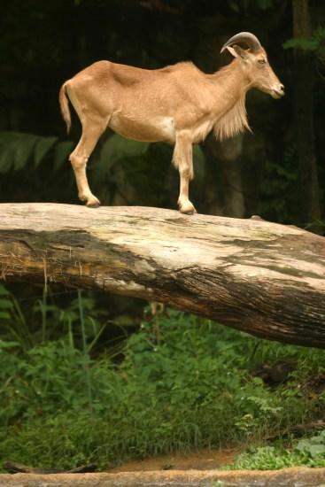 Singapur, Zoológico, Cabra de montaña