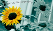 Masked cool background sunflower