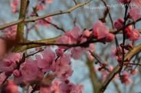 Pink blossom 6