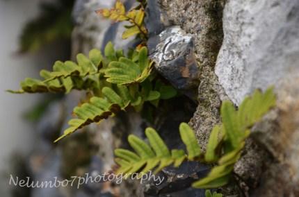 Wall fern
