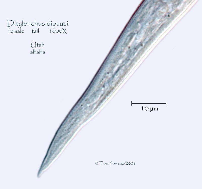 Ditylenchus dipsaci Photo Gallery Utah