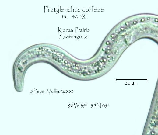 Pratylenchus coffeae Photo galleryKonza