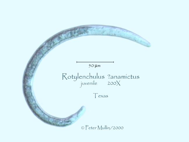 rotylenchulus anamictus Photo GalleryTexas