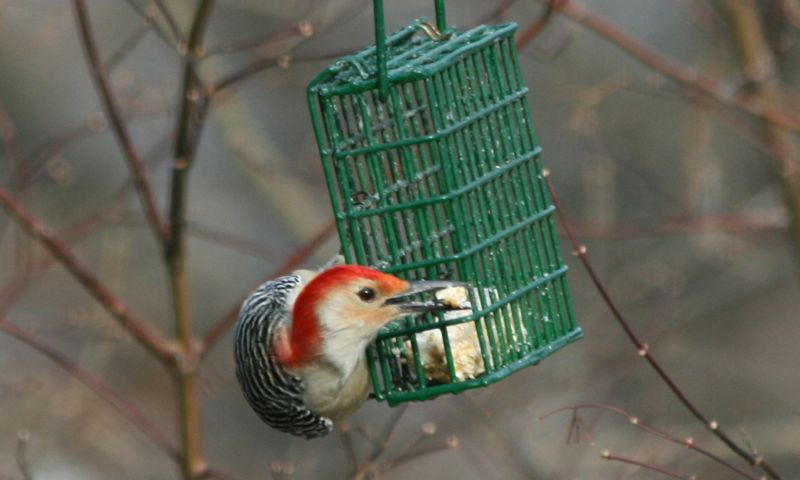 Red-bellied Woodpecker- male