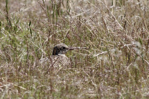 Long-billed Curlew on nest - female (photo by Alex Lamoreaux)