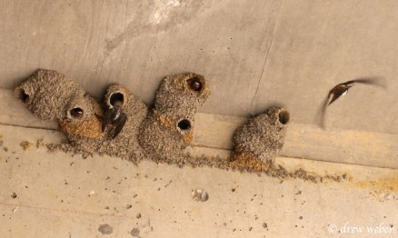 Cliff Swallow nests (photo by Drew Weber)