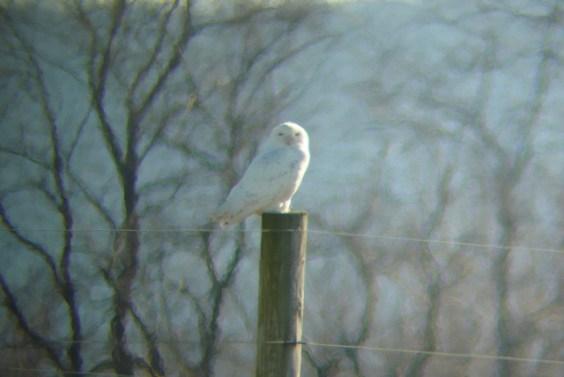 Cumberland Co Snowy Owl (Lou Carpenter)