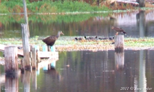 Limpkin and Snail Kite - Lake Tohopekaliga