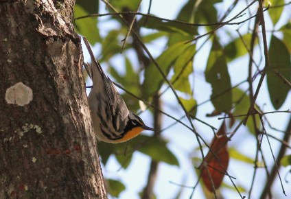 Yellow-throated Warbler - adult male (Photo by Alex Lamoreaux)