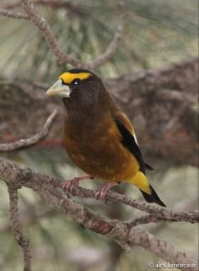 Evening Grosbeak - male