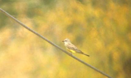 Western Kingbird - VanDyne Spoor Rd1