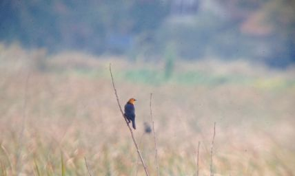 Yellow-headed Blackbird - VanDyne Spoor Rd1
