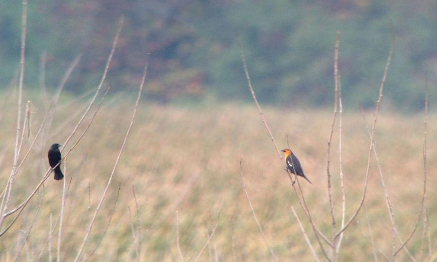 Yellow-headed Blackbird - VanDyne Spoor Rd3