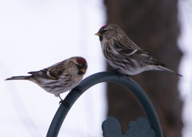 These two Common Redpolls visited Ron Crandall's feeders today, the first time he has seen this species in his yard. (Photo by Ron Crandall)