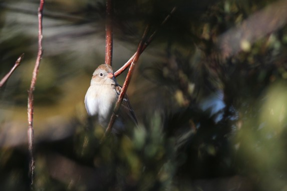 We saw 7 species of sparrow over the weekend. This Field Sparrow posed nicely, tucked back in some bushes. (Photo by Alex Lamoreaux)