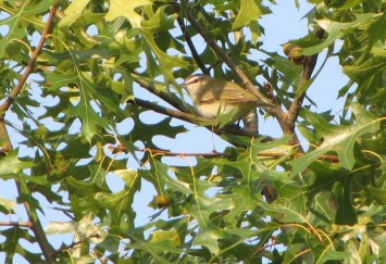 Red-eyed Vireo - photo by Ted Keyel
