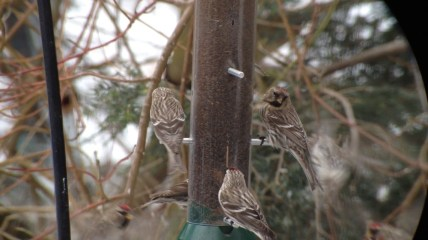 Three Common Redpolls with a Greater Redpoll on the right