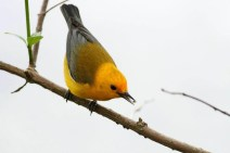 Prothonotary Warbler - Magee Marsh, Ohio (Photo by Anna Fasoli)