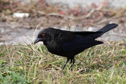 Bronzed Cowbird - Male (Photo by Alex Lamoreaux, March 2013)