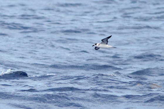 Black-capped Petrel (Photo by Alex Lamoreaux)