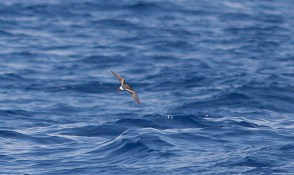 Our first Band-rumped Storm-Petrel of the day spotted far behind the boat (Photo by Mike Lanzone)