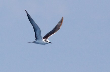 Another photo of the adult Bridled Tern, ~20 miles ESE off Hatteras, NC (Photo by Mike Lanzone)