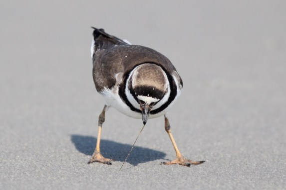 Semipalmated Plover (Photo by Alex Lamroeaux)