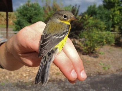 Magnolia Warbler - adult female (Photo by Alex Lamoreaux)
