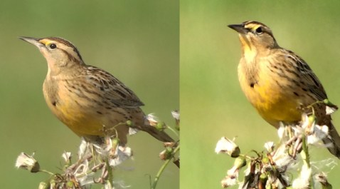 On the left Eastern Meadowlark taken with no digital zoom, and right one with 50% digital zoom. (Mike Lanzone)